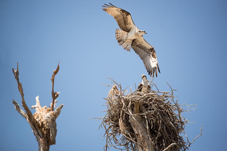pensacola photographer captures bald eagle